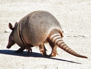 Nine-banded Armadillo (Dasypus novemcinctus); Hutto, TX, 17 Nov 2011 --- Crossing Road