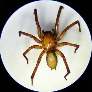 Brown Spider; Annie P,, NW Austin, TX; Habitus