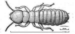 A Subterranean Termite and an Entomopathogenic Nematode