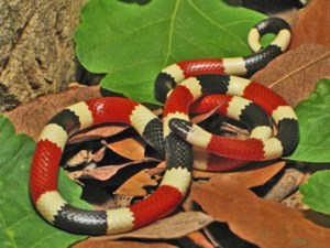 Arizona Coral Snake (Micruroides euryxanthus euryxanthus): Jeff Survoss, USFWS