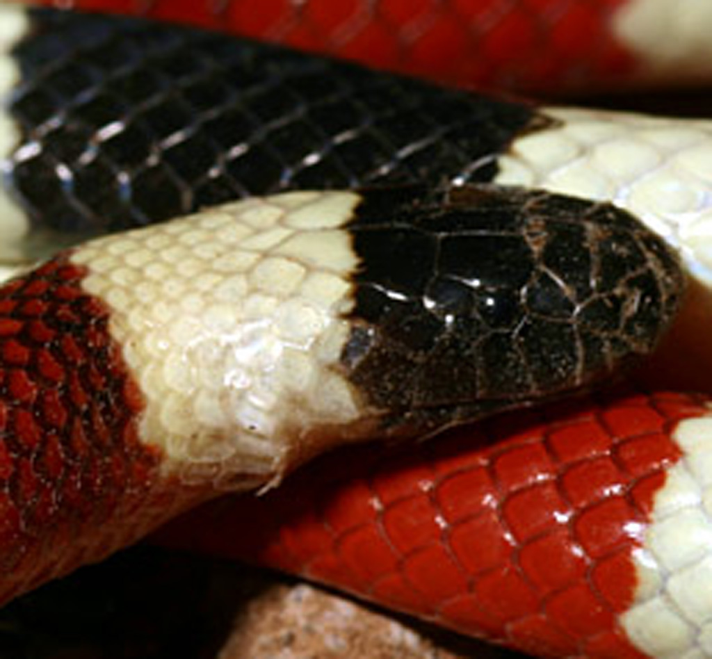 North American Coral Snakes (Micruroides Euryxanthus