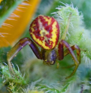 Thomisid Crab Spider female: dorsal habitus; Regina Weishuhn, Grand Prairie, TX --- 16 April 2012