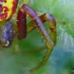 Thomisid Crab Spider female: left leg I & II; Regina Weishuhn, Grand Prairie, TX --- 16 April 2012
