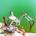 Thomisid Crab Spider male: lateroposterior habitus; Regina Weishuhn, Grand Prairie, TX --- 16 April 2012