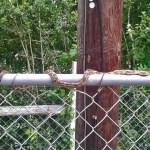 Texas rat snake (Elaphe obsoleta lindheimeri) sunning atop a chain link fence: Tammy D., Alvin TX --- 16 April 2012