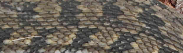 A Diamond-backed Water Snake in Bullard, Texas