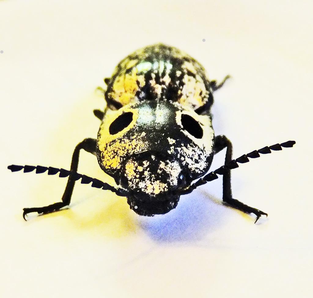 Texas Eyed Click Beetles In Temple Bugs The News Snake Anatomy Diagram Bugsinthenews Beetle Alaus Oculatus Frontal