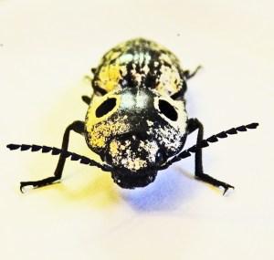 Eyed click beetle (Alaus oculatus); frontal