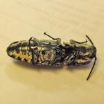 Eyed click beetle (Alaus oculatus); ventrum