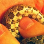 North American rat snake juvenile; belly at mid body: Walter Fuller, Frisco, TX --- 1 May 2012