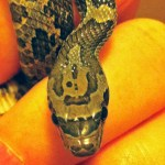 North American rat snake juvenile; dorsal head: Walter Fuller, Frisco, TX --- 1 May 2012