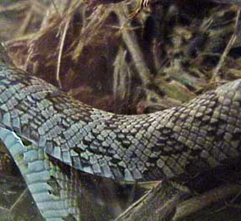 North American rat snake juvenile; lateral midbody: Temple TX --- April 2002