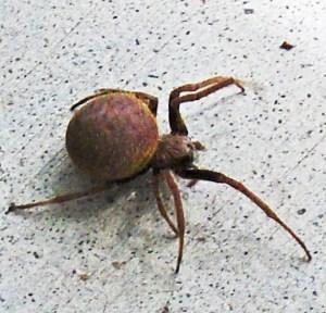 Southern orb weaver (Eriophora ravilla); laterodorsal habitus: Louise Giguere, Orange, TX --- 10 August 2009