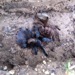Brown Tarantula (Aphonopelma spp.); habitus: Elizabeth Friesenhahn, near McKinney, TX --- 12 May 2012