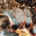 Brown Tarantula (Aphonopelma spp.); dorsal abdomen: Elizabeth Friesenhahn, near McKinney, TX --- 12 May 2012