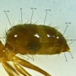 Rasberry Crazy Ant (Nylanderia sp. nr. pubens); NW Houston, Texas; 07 Sept 2012; abdomen annotated