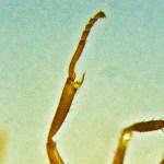 Rasberry Crazy Ant (Nylanderia sp. nr. pubens); NW Houston, Texas; 07 Sept 2012; tibia with distal protibial process