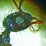 Longhorn Crazy ant (Paratrechina longicornis); Victoria, TX; Ramon Alaniz, Victoria, TX, 28 Sep 2012 --- lateral head