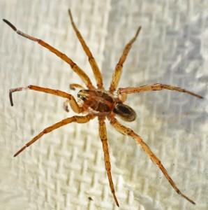 Male Lycosidae; Sarah A. Woller, College Station, TX, 24 Nov 2012 --- Dorsal Habitus
