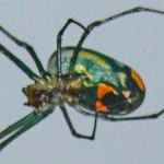 Tetragnathidae: Leucauge venusta; Troy Bell, Houston, TX, 9 Dec 2012 --- ventrofrontolateral body