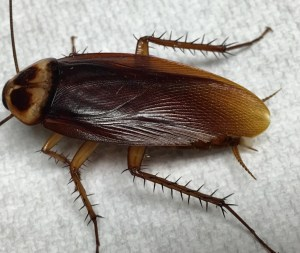 Adult male American cockroach (Periplaneta americana). Note the pale margin around the shield behind the head. This distinguishes the American cockroach from the smoky brown cockroach (Periplaneta fuliginosa), which is uniformly dark brown and lives in the landscape rather than in the sewer.