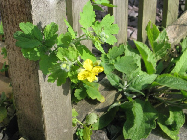 Greater Celandine - a cure for warts?