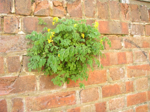 A Yellow Corydalis surviving in a tiny nook in the wall