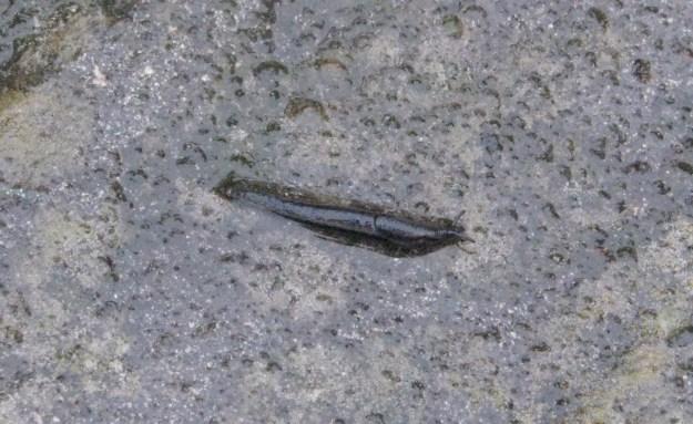 Bourguignat's Slug
