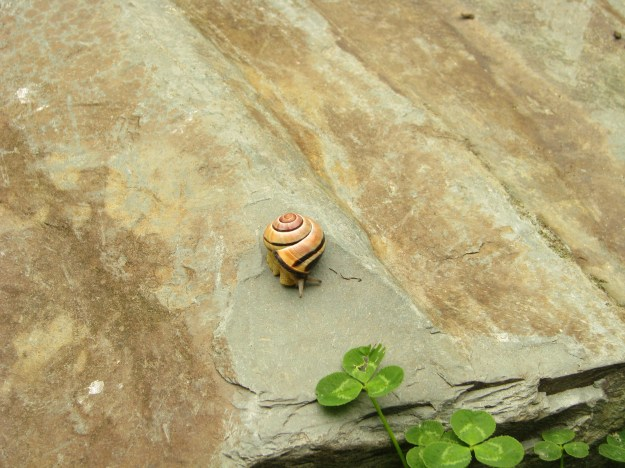 Brown-lipped Banded Snail