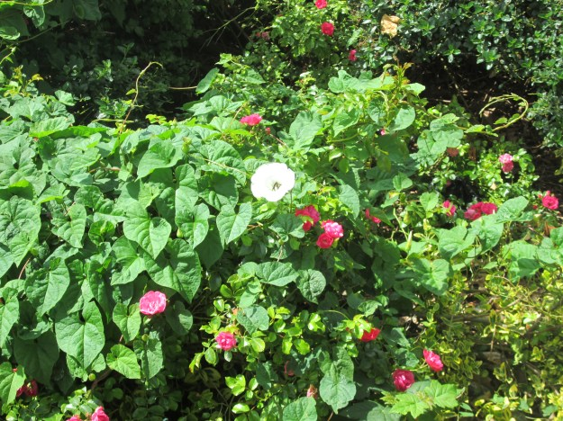 June Weeds Bindweed 004