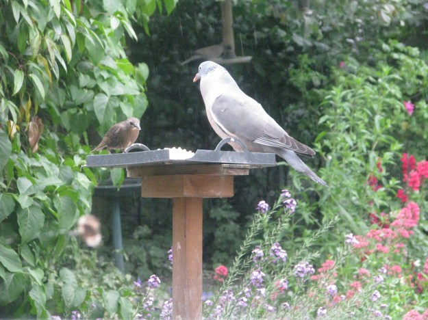 Go away, starling!