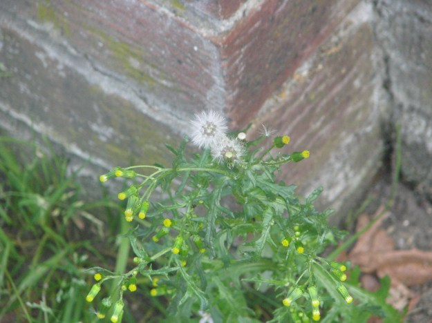 The light, hairy seeds of the Groundsel can travel a long way....