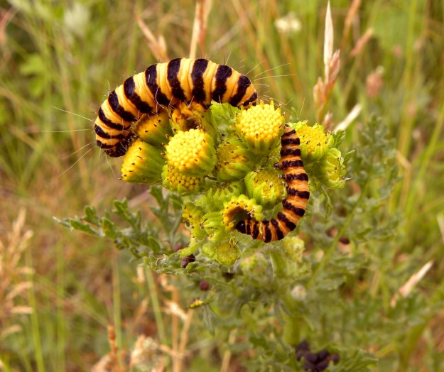 Cinnabar Moth Caterpillar By joost j. bakker [CC-BY-2.0 (http://creativecommons.org/licenses/by/2.0)], via Wikimedia Commons