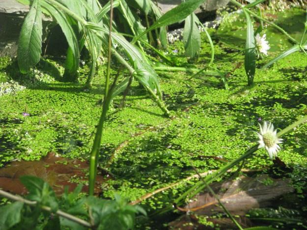 Duckweed (Lemna minor)