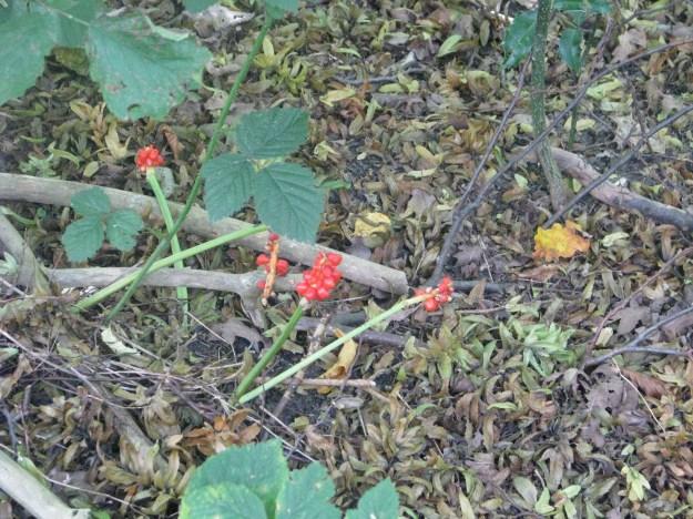 Cuckoopint (Arum maculatum)