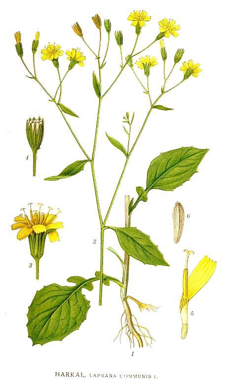 Nipplewort (Carl Axel Magnus Lindman [Public domain or Public domain], via Wikimedia Commons)