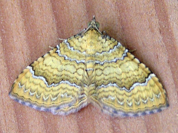 "Yellow Shell moth (Camptogramma bilineata) ""Camptogramma bilineata"" by Eric Steinert - photo taken by Eric Steinert near Munich, Germany. Licensed under Creative Commons Attribution-Share Alike 3.0 via Wikimedia Commons - http://commons.wikimedia.org/wiki/File:Camptogramma_bilineata.jpg#mediaviewer/File:Camptogramma_bilineata.jpg"