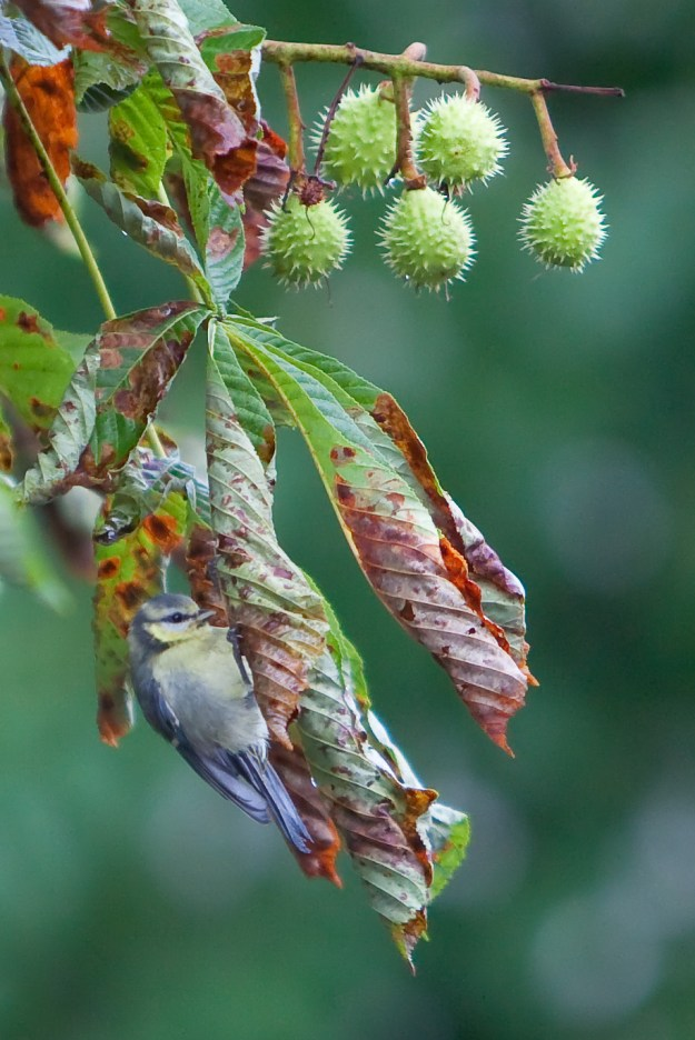 Blue Tit feeding on Horse Chestnut Leaf Miner caterpillars (By Rafał Konieczny (Own work) [GFDL (http://www.gnu.org/copyleft/fdl.html) or CC-BY-3.0 (http://creativecommons.org/licenses/by/3.0)], via Wikimedia Commons)