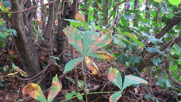 Horse Chestnut Ivy 005