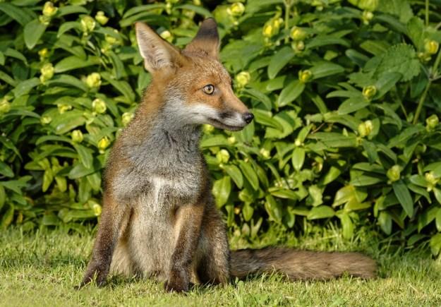 Fox cub 2_1280x800