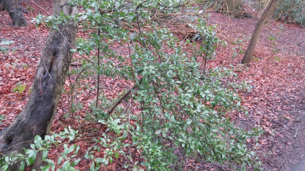 Pyracantha growing in Coldfall Wood