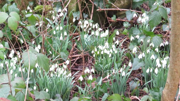 Snowdrops in St Pancras and Islington Cemetery (Galanthus nivalis)