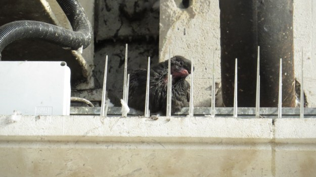 More anti-pigeon spikes. With a baby pigeon sitting behind them.