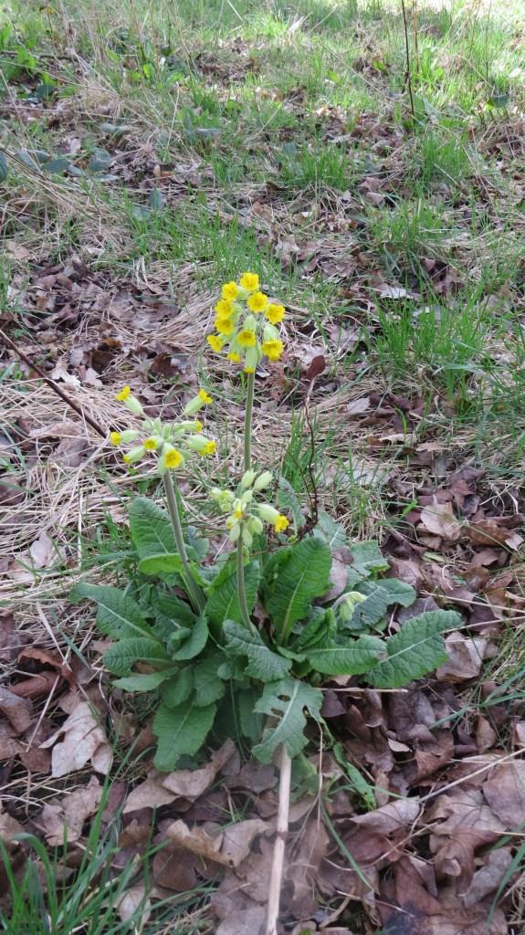 Cowslip (Primula vernis)