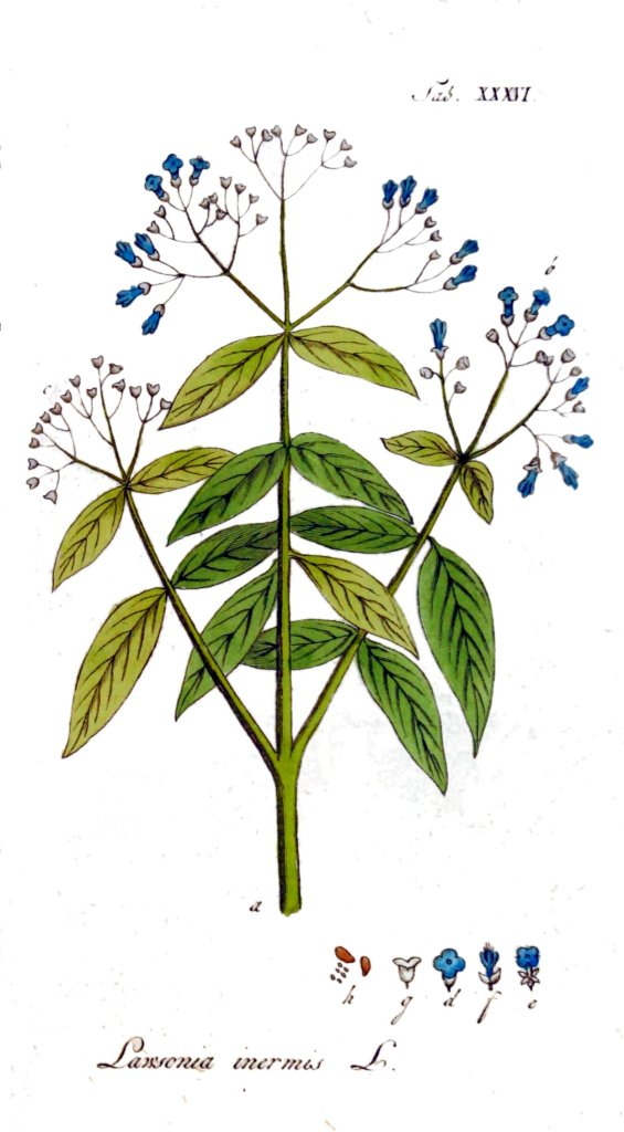 The Henna Tree (Lawsonia inermis)