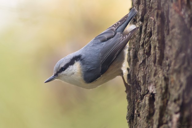 Nuthatch heading down a tree trunk (By Jyrki Salmi from Finland (Eurasian Nuthatch) [CC BY-SA 2.0 (http://creativecommons.org/licenses/by-sa/2.0)], via Wikimedia Commons)