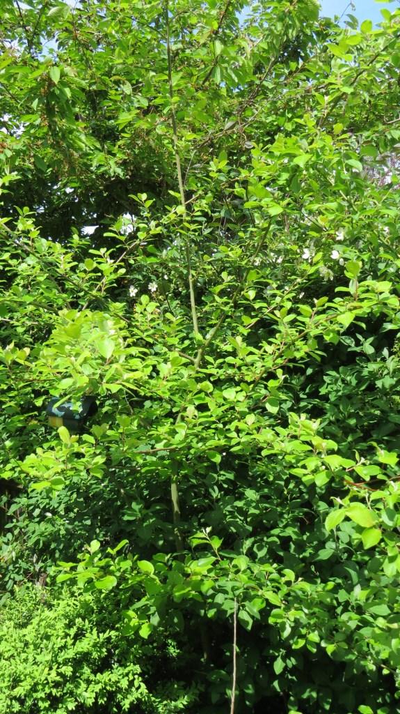 The 'volunteer' cherry tree.