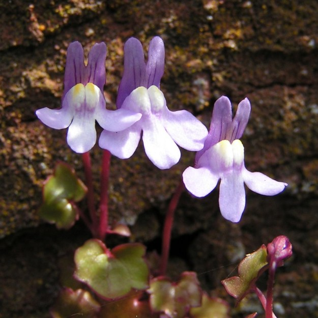 Looked at up close, the flowers of Ivy-leaved Toadflax are remarkably complex. The two-lobed 'lower lip' is indicative that this is a toadflax. (By The original uploader was Sannse at English Wikipedia [GFDL (www.gnu.org/copyleft/fdl.html) or CC-BY-SA-3.0 (http://creativecommons.org/licenses/by-sa/3.0/)], via Wikimedia Commons)