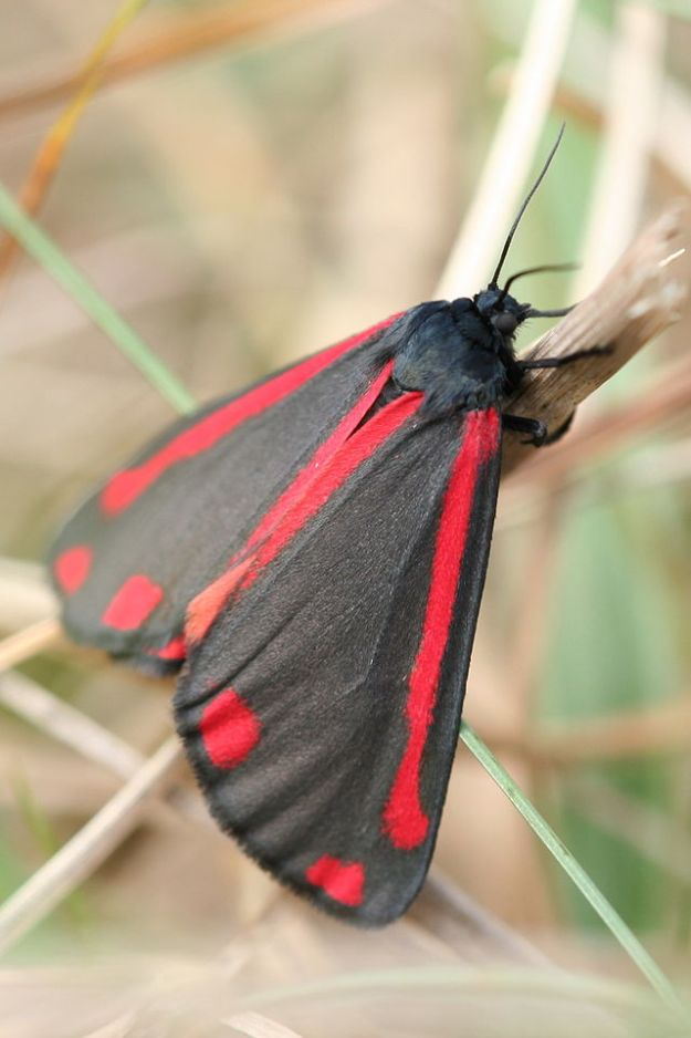 "Adult Cinnabar moth (""Tyria jacobaeae-04 (xndr)"" by Svdmolen - Own work. Licensed under CC BY 2.5 via Wikimedia Commons - http://commons.wikimedia.org/wiki/File:Tyria_jacobaeae-04_(xndr).jpg#/media/File:Tyria_jacobaeae-04_(xndr).jpg)"