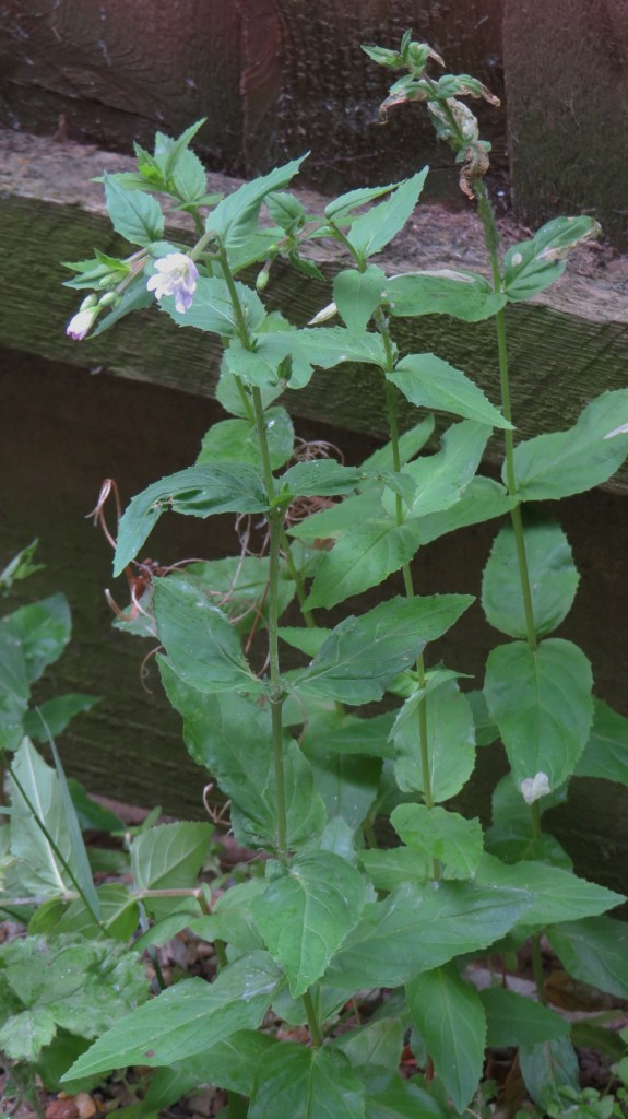 Broad-leaved Willowherb (Epilobium montanum)